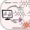 微生物生产天然红色色素胭脂红酸