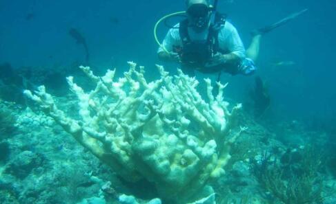 佛罗里达大西洋大学研究称全球变暖不是珊瑚礁白化的唯一原因