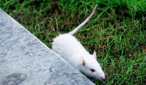 迷幻微剂量可减少实验室大鼠的恐惧和抑郁